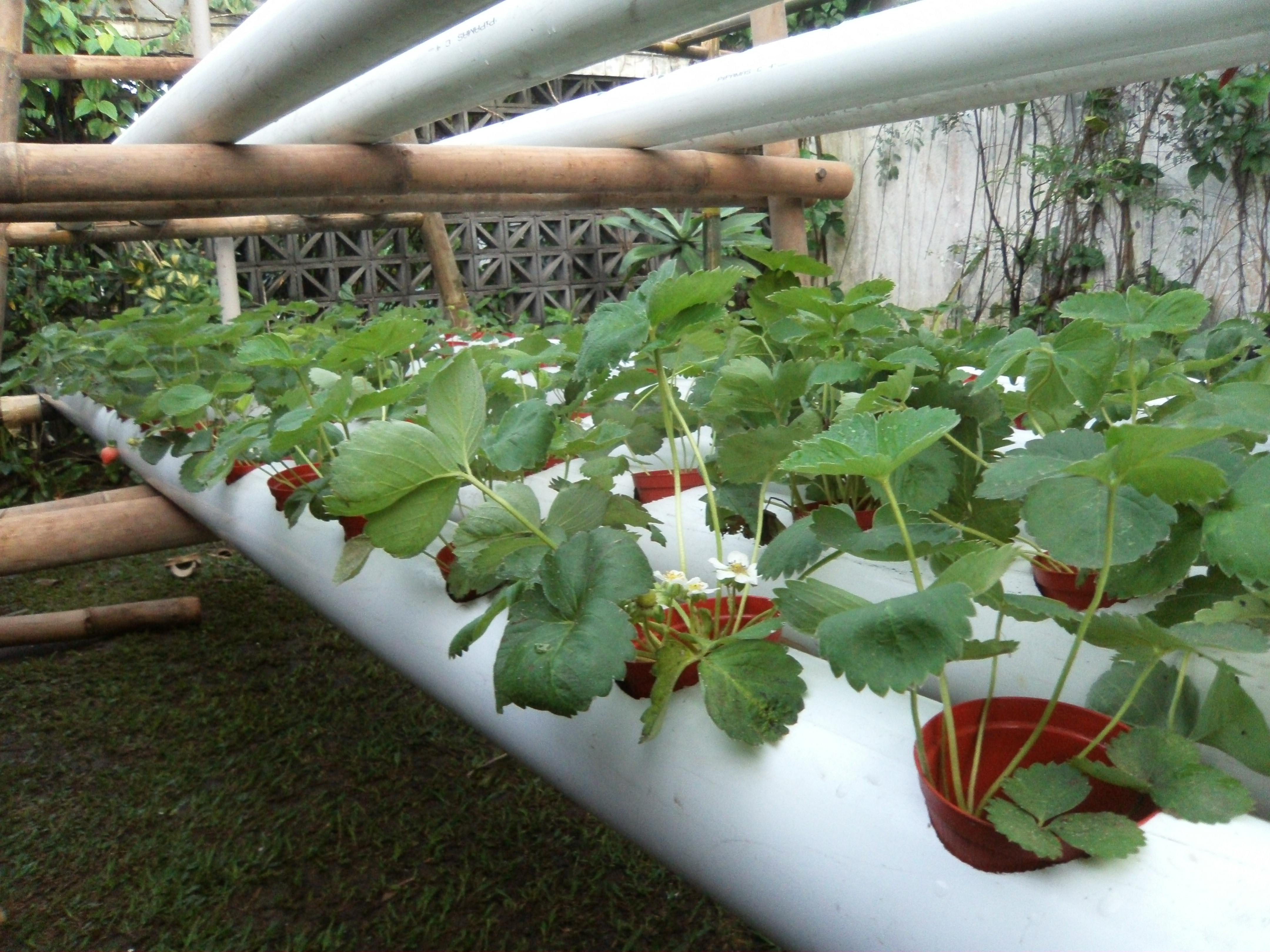 Goducate Pilots Hydroponics Strawberry Production In